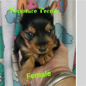 Yorkshire terrier girls boys