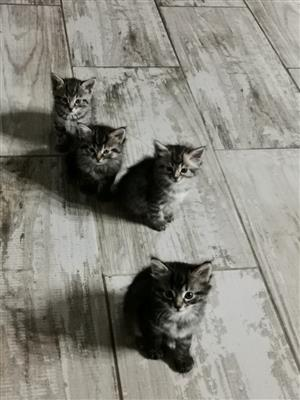MaineCoon cross Wildcat kittens