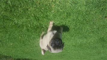 Fawn male pug puppy.