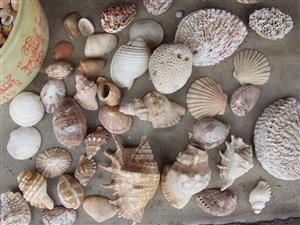 Sea Shells - Large quantity