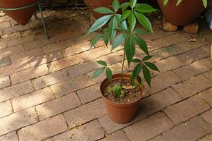 YOUNG STRONG KAPOK TREES FOR SALE !!