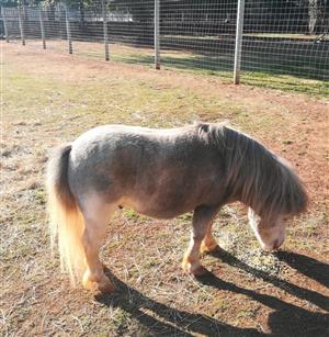 Miniature Horse (Stallion)