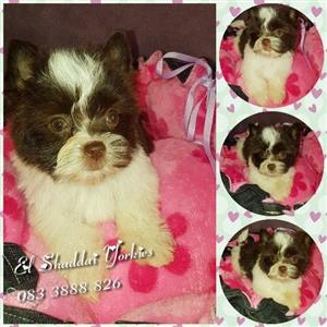 Pocket Size Biro Yorkie female pup