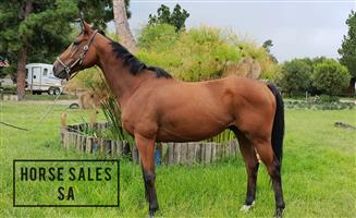THB Gelding For Sale
