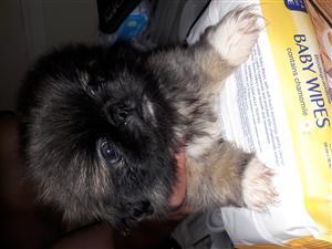 Miniature Pikangese Puppies