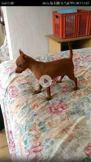 Lovely Purebred Miniature Pinscher PUuppy
