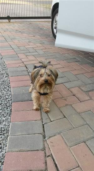 Please help me find our Lost Yorkie