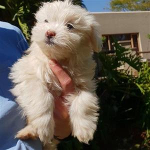 Mal-Shi Puppy