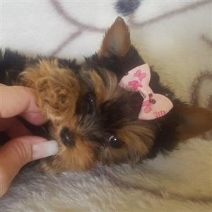 Traditional Yorkie female Available