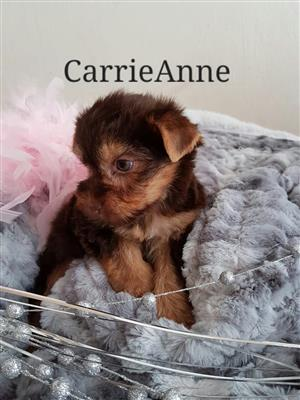 Yorkie pups available. Affordable variety
