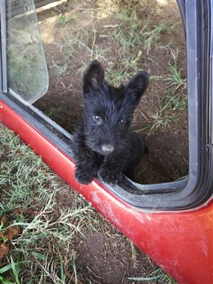 Opregte Swart Scottish terrier reuntjies