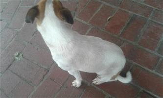 Jack Russel for sale
