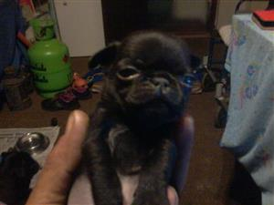 black pure bred pugs