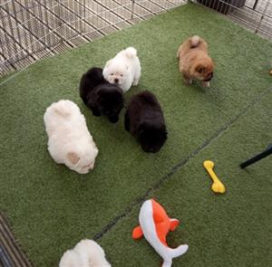 Healthy Purebred Chow Chow puppies