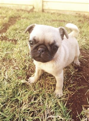 pugs For Sale in Dogs and Puppies in South Africa | Junk Mail