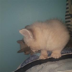 ragdoll kittens for homes