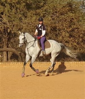 Breathtaking GREY thoroughbred gelding for sale