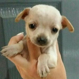 Teacup chiwawa puppies