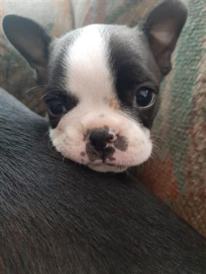 Pure breed Boston terriers 8 weeks old