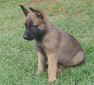 BELGIUM SHEPERD MALINOIS PUPPIES