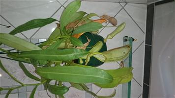 Nepenthes - Tropical Pitcher Plant