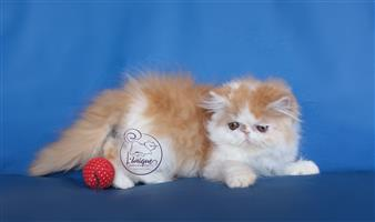 Red Bicolor Persian Girl For Sale