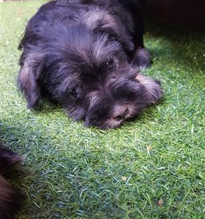 Adorable miniature Schnauzer puppies for sale