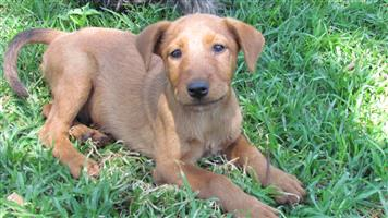 Pedigree Irish Terrier puppies for sale
