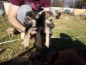 Alsatian puppies 3males 1female. Innoc and dewormed. 7 weeks old purebred. R1500 0823233637