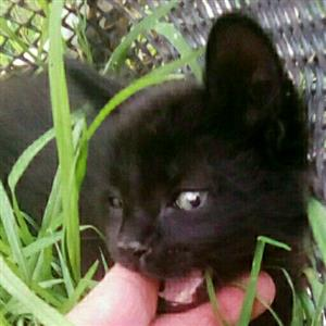 3 Beautiful black long-haired kittens need homes