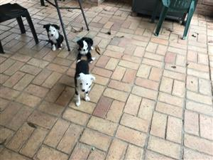 Border Collie Puppies 8 Weeks Old for Sale