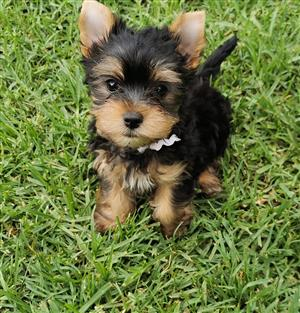 Registered Quality Yorkie puppies