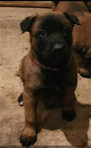 Malinois In Dogs And Puppies In South Africa Junk Mail