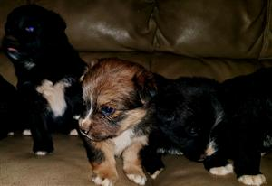 Cute puppies looking for loving home