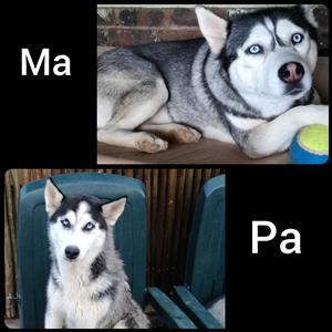 Siberian Husky Puppies te koop!! (Blue eyes)
