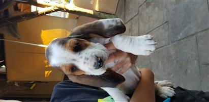 Last Male Basset Puppy For Sale