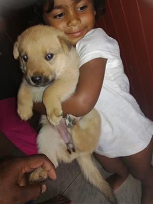 German Shepherd Puppy R500