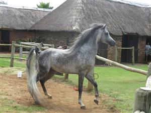 Arab horse for sale