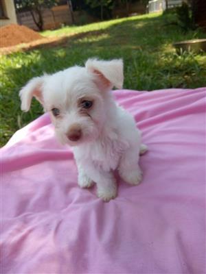 Miniature Morkie puppy