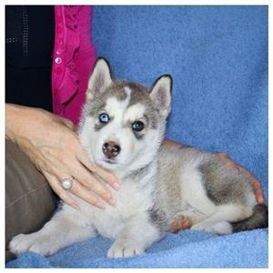 Purebred Siberian Husky Pups