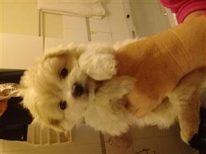 Maltese hondjies