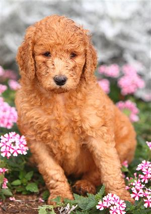 Quality Standard Poodle Puppies