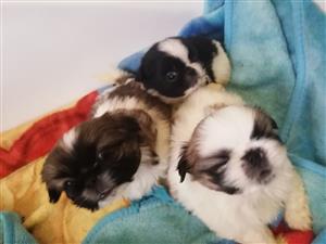 Pekingese puppys male R800