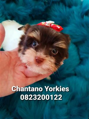 Biro Yorkshire Terrier Boy