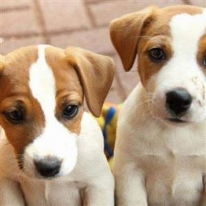 Canine Registered Jack Russel puppies for sale.