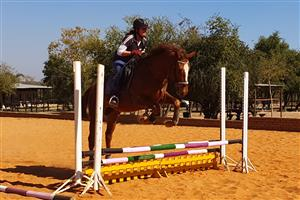 **SENSIBLE 4 YEAR OLD TB GELDING FOR SALE**