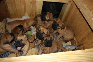Registered English Bullmastiff Puppies