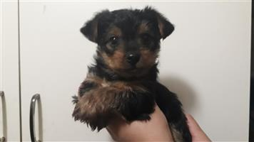 Small/Medium breed Yorkie Puppies