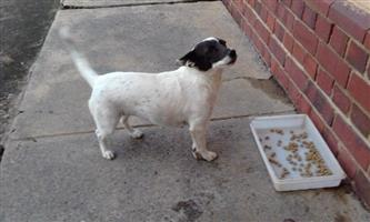 Foxy cross Jack Russel 3 year old female looking for a loving home.