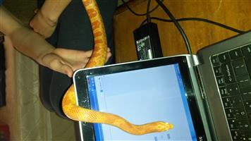 Corn Snake (Orange)